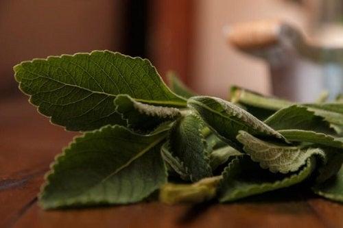 Boldo, een eenvoudige remedie voor een gezondere lever