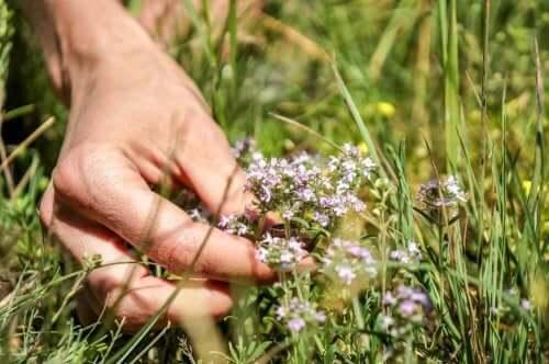 Tijm is een natuurlijke remedie voor veel kwalen