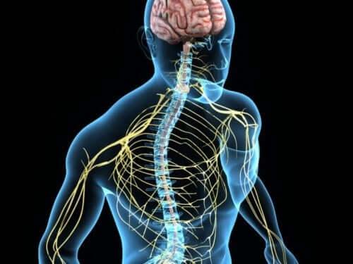 Het zenuwstelsel im een computertekening