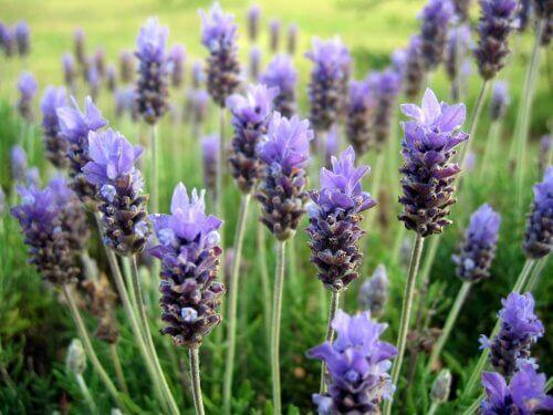 Lavendel is een van de meest geurende bloemen