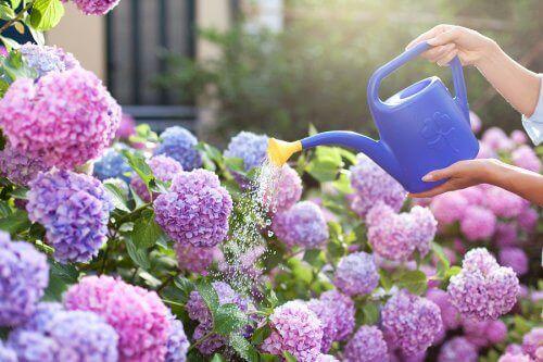 Een persoon geeft bloemen water met een gieter