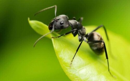 Ook mierenbeten horen bij de meest voorkomende insectenbeten