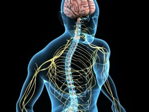 Afbeelding van het zenuwstelsel