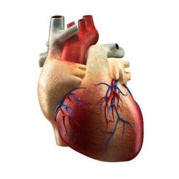 De delen van het hart en hun functies