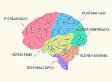 Wat zijn de verschillende kwabben van de hersenen?