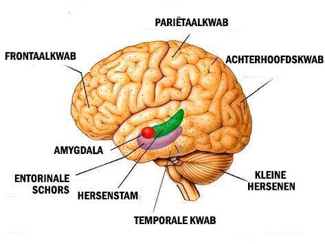 Uitleg hersenen