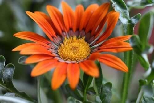 Een oranje gazania