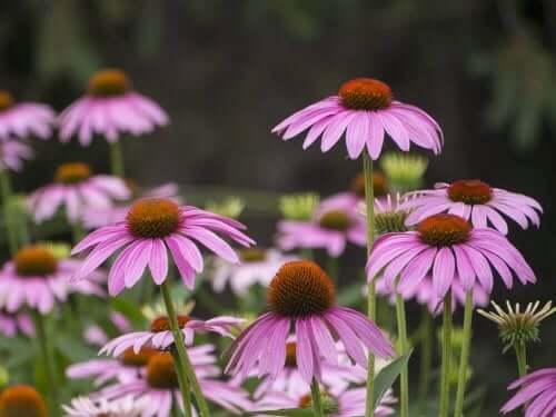 Rode zonnehoed heeft prachtige paarse bloemen