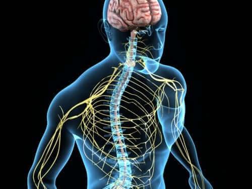 Het zenuwstelsel van een mens