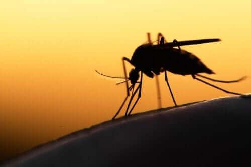 Mug die malaria veroorzaakt