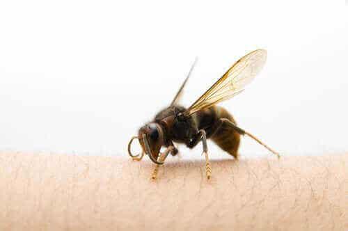 Wat te doen na een steek van de Aziatische hoornaar