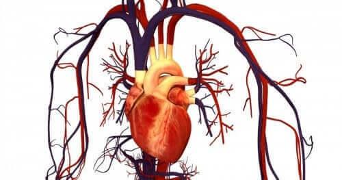 eenillustratie van het hart en hartvaten