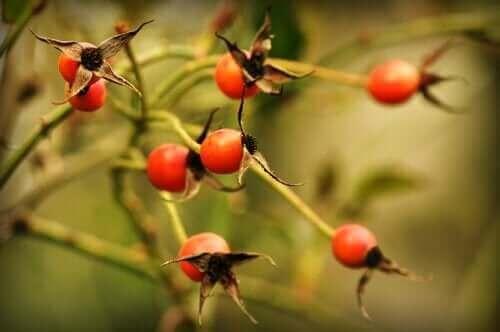 Plant met rozenbottels