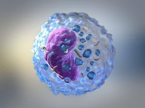 Witte bloedcel voert immuunrespons uit