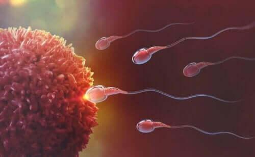 Bevruchting van een eicel