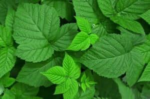 Medicinale planten zoals frambozenblaadjes