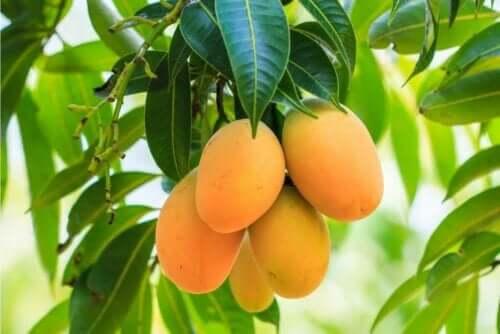 Mango aan de boom