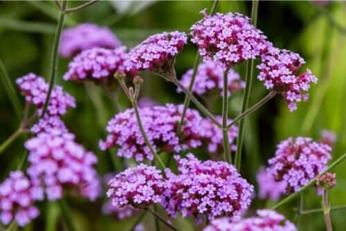 Paarse bloemen van de verbenaplant