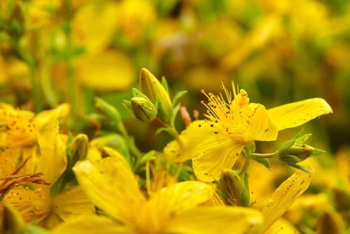 De gele bloemen van sint janskruid