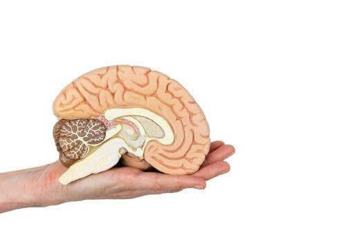 Iemand houdt een model van hersenen vast