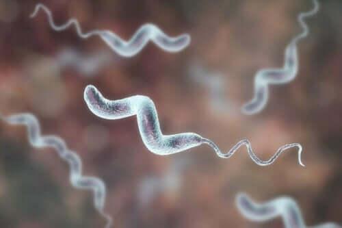Een close-up van campylobacter-bacillen