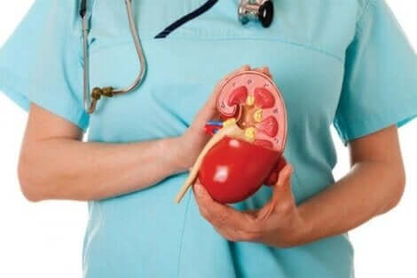 Een dokter houdt een plastic dwarsdoorsnede vast van een nier