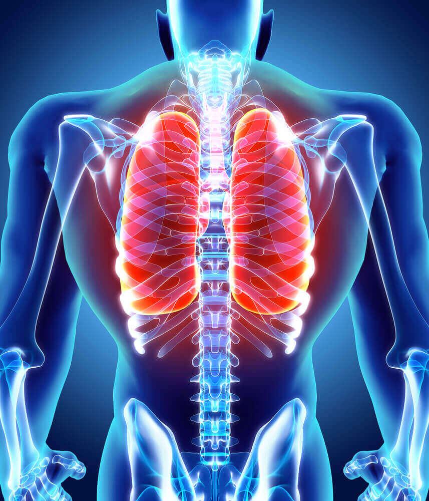 De luchtwegen en longen