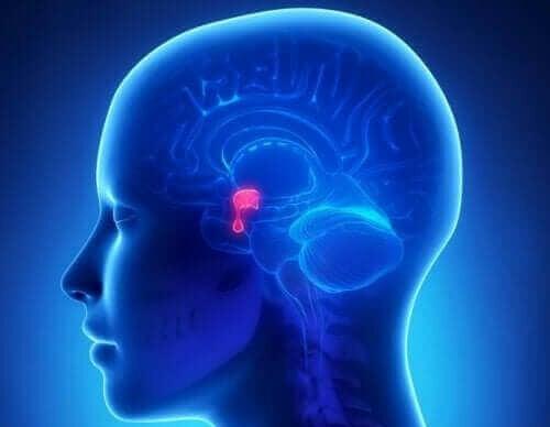 De hypofyse in het hoofd