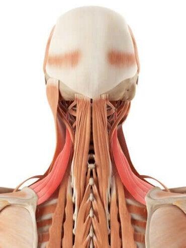 Anatomie van de nek: botten en kraakbeen