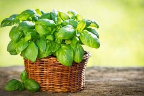 Soorten basilicum die je in je tuin kunt kweken