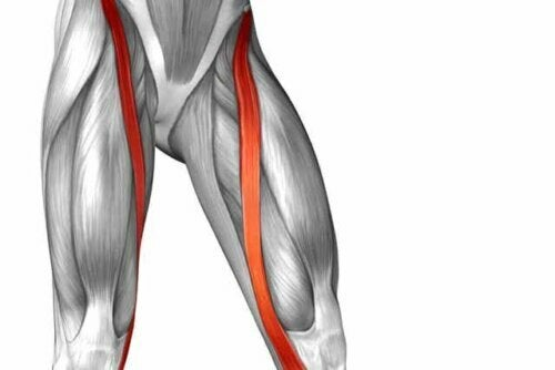 Anatomie van de kleermakersspier