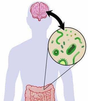 De relatie tussen de darmflora en de hersenen