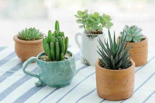 Een verscheidenheid aan kleine vetplanten