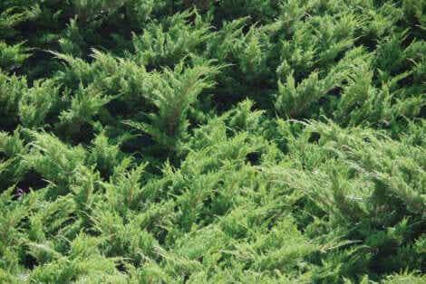 Plantbedekking om grond te beschermen en vruchtbaarder te maken