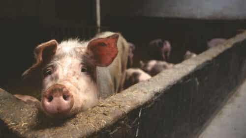 Het eten van varkenszwoerd en de risico's ervan